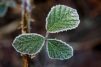 Ice crystals on a leaf, Hesse, Germany, Europe