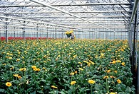 Flower cultivation. Transvaal daisies, Gerbera jamesonii, being harvested in a vast commercial glasshouse. Growing flowers in glasshouses allows for c...
