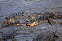American Alligator,Alligator mississipiensis,Florida,USA,adult group feeding in water
