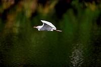 Cattle Egret,Bubulcus ibis,Florida,USA,adult flying