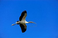 Wood Stork,Mycteria americana,Florida,USA,adult flying with nesting material