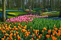 Tulips Tulipa, Keukenhof Gardens, Holland, the Netherlands, Europe