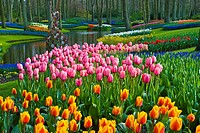 Tulips Tulipa, park, Keukenhof Gardens, Holland, the Netherlands, Europe