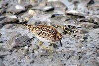 Least Sandpiper (Calidris minutilla), Prince William Sound, Alaska, USA