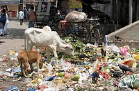 You constantly come across cows in the slums, either the Hindu holy variant or the Muslim cattle for slaughter, both types feed themselves predominant...