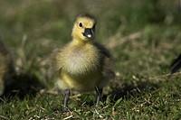 Greylag Goose (Anser anser), chick, gosling