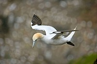Northern Gannet (Morus bassanus, formerly Sula bassana) leaving its nesting site flying down the cliffs, Hermaness National Nature Reserve, Unst, Shet...