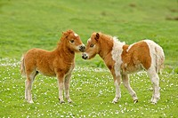 Shetland ponies, two foals sticking their heads together, Central Mainland, Shetland, Scotland, United Kingdom, Europe