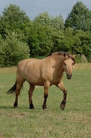 Beige half-breed horse