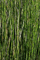 Scouringrush Horsetail (Equisetum hyemale), densely growing stems creating a homogenous texture