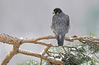 Peregrine Falcon (Falco peregrinus) perched on a pine branch, Schwaebische Alb, Baden-Wuerttemberg, Germany