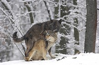 Two Mackenzie Valley Wolves, Rocky Mountain Wolves, Alaskan - or Canadian Timber Wolves (Canis lupus occidentalis) playing in a snow-covered forest