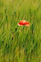 Red Poppy (Papaver rhoeas) growing in a barley field