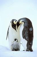 Emperor Penguins (Aptenodytes forsteri) with young, Dawson-Lambton Glacier, Antarctica