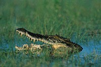 Saltwater Crocodile (Crocodylus porosus) eating a dead fish, Kakadu National Park, Northern Territory, Australia, Oceania