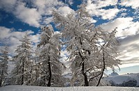 Snow-covered trees against clouds in a blue sky, Arabba, Bolzano-Bozen, Dolomites, Italy, Europe