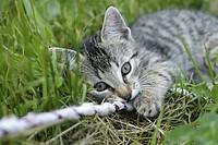 Domestic Cat, Felis Catus