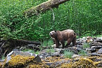 Grizzly Bear in the Khuzemateen Grizzly Bear Sanctuary, British Columbia, Canada