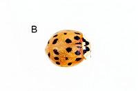 Harlequin ladybird Harmonia axyridis.