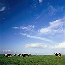 Ireland, Cork, meadow, cows, cloudy heaven,