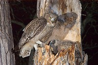 Blakiston's fish owl / Ketupa blakistoni.Ussuriland, Far East of Russia