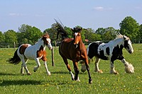 Galloping Freiberger horse and two Irish Tinker horses in the background _ mares Equus przewalskii f. caballus