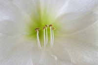 Close_up of Amaryllis