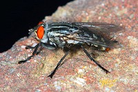 Flesh Fly (Sarcophaga carnaria)