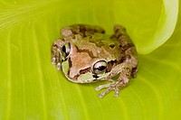 Mexican Tree Frog (Smilisca baudinii). Alamos. Sonora. Mexico. Only found in warm tropical locations