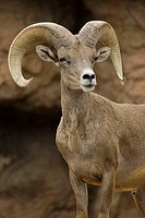 Bighorn Sheep (Ovis canadensis). Ram. Captive. Arizona. Record spread of horns in male is 33 inches. Females have short straight horns. Both a browser...