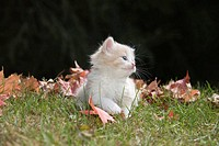 Single 6 week old long haired ginger kitten on grass in garden in autumn