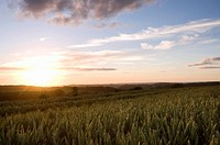 Sun setting on wheat fields
