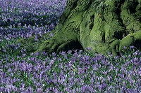 purple crocuses, bole