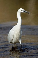 Little egret , Egretta garzetta , at river