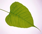 Plant leaf on white background