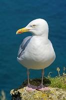Herring Gull Larus argentatus at Falaise d´aval  Étretat  Côte d´Albatre  Haute-Normandie  Normandy  France