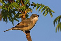 Close_up of Whitethroat Sylvia Communis perching on branch