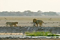 Hunting Lion (Panthera leo) with with cups and a killed springbok (Antidorcas marsupialis), Nxai Pan, Makgadikgadi Pans National Park, Botswana, Afric...