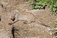 Banded Mongoose (Mungos mungo) at Hellbrunn Zoo, Salzburg, Austria, Europe