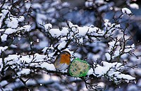 European Robin Erithacus rubecula, winter feeding