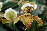Lady's Slippers (Paphiopedilum) hybrid, botanical gardens in Germany, Europe