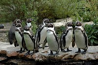 African_ or Blackfooted Penguins Spheniscus demersus, Berlin Zoo, Berlin, Germany, Europe