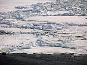 Adélie Penguins (Pygoscelis adeliae) walking over sea ice off the coast of Franklin Island, Antarctica