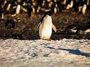 Adelie Pénguin (Pygoscelis adeliae) on Franklin Island, Antarctica