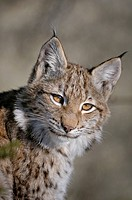 Eurasian Lynx (Lynx lynx) cub, portrait, Bavarian Forest, Bavaria, Germany, Europe