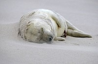 Grey Seal (Halichoerus grypus), young in sandstorm