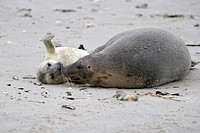 Grey Seal Halichoerus grypus, female with young playing