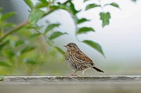 Dunnock (Prunella modularis), juvenile in garden, Norfolk, UK, September