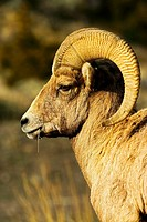 Bighorn Sheep Ovis canadensis Mountain Sheep Rocky Mountain Bighorn Sheep