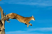 A Cougar Leaps Out of A Tree